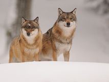 Two Wolves ( Canis lupus ). The gray or grey wolf often known as the wolf only. This are two wolves of a pack with seven animals royalty free stock images