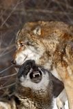 Two wolves canis lupus in winter, wolfs running in snow, attractive winter scene with wolves , beautiful winter landscape stock photography