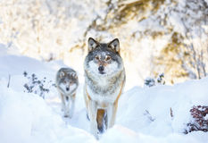Two wolves in cold winter forest Stock Images
