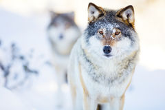 Two wolves in cold winter landscape Royalty Free Stock Photos