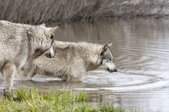 Two Wolves Drinking from a quiet Lake Stock Photo