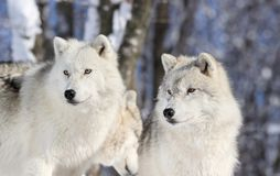 Two wolves in forest. Two arctics wolves in forest during winter Stock Images