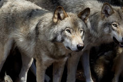 Two wolves in the forest stock photography