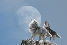 Two wolves howl at the moon. A pair of wolves singing their melancholy song for the moon Stock Photo
