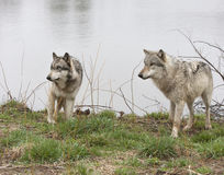 Two Wolves By a Lake Royalty Free Stock Photography