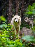 Two Caged Wolves at Zoo royalty free stock photography