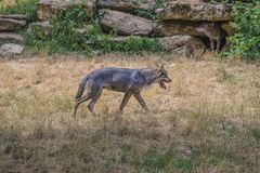 Two wolves outdoors royalty free stock photos