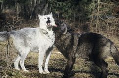 Two wolves playing near forest Stock Photos