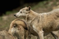 Two wolves playing Royalty Free Stock Photo