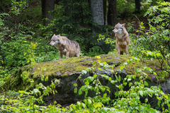 Two wolves on a rock Stock Photography