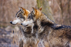 Two wolves side by side