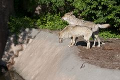 Two wolves standing in the forest. Two skinny, hungry wolves standing among the trees, wolves stand on a stone ledge Royalty Free Stock Photography