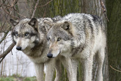 Two Wolves Staring Intently. Two gray wolves staring intently. One has green eyes, the other has blue eyes royalty free stock photos