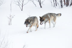 Two wolves walking in the snow royalty free stock images