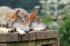 Two wolves watching. Two alert wolves lying down on a wooden platform both watching with their ears pricked royalty free stock photo