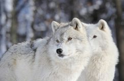 Two wolves in winter Stock Photography