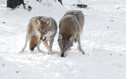 Two wolves in the winter in the forest. Wolf and she-wolf in the winter snow-covered forest stock photos