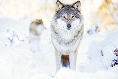 Two wolves in wolf pack in cold winter forest. Clos-ups of wolf pack standing in the woods a cold winter day. Snow on the ground and on the trees Royalty Free Stock Images