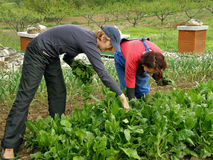 Two woman picking chard. On the village stock photo