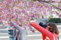 Two woman taking photo of the beautiful blooming cherry flowers royalty free stock photography