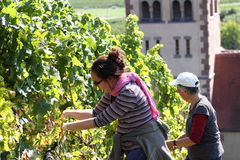 Two women harvesting grapes Royalty Free Stock Photos