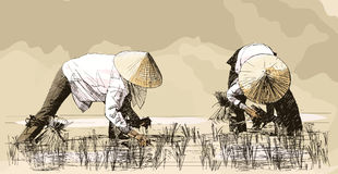 Two women harvesting rice in asia Royalty Free Stock Photography