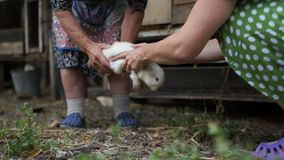 Two women holding a rabbit in their hands. The animal is very scared and is trying to break free. Rabbit farm. Veterinary care, medical examination stock video