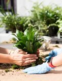 Two women in process to planting houseplant. Close up royalty free stock photo