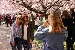 Two women with sunglasses have taken their photo under a blooming japanese cherry blossom tree. royalty free stock images