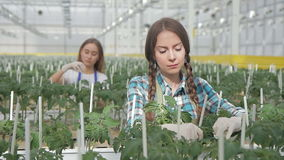Two women ties bushes tomatoes in greenhouse on hydroponics indoors. They neatly tie young seedlings to sticks, standing in spacious premise of agro-industrial stock footage