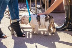 Two women with trendy shoes caress a cute bulldog puppy stock images