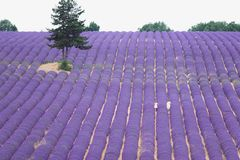 Purple flowers of lavender on the field in Provence France. Two women walking through the rows on lavender and the tree growing aside the field in in Provence Stock Photography