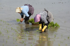 Two women working on rice farm for planting new rice sprouts thr. Gilan Province- North of  IRAN-May 11, 2017 two women working on rice farm for planting new Royalty Free Stock Photo