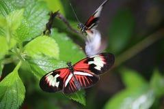 Butterflies in flight - Butterfly World in Florida stock photo
