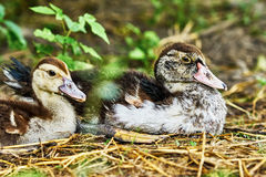 Two wonderful duck Royalty Free Stock Photo