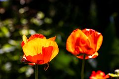 Two wonderful red and orange poppy flowers on a green blurry background stock photo