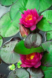 Two wonderful water lilies. Two charming and gentle water lilies Stock Photos