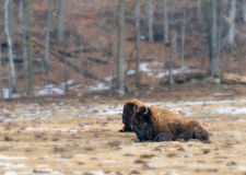 Two wood bison resting in field Stock Photography