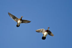Two Wood Ducks Flying in a Blue Sky Royalty Free Stock Photography