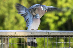 Two Wood Pigeons Mating Stock Photos