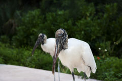 Two wood storks foraging for food Stock Photos