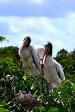 Two wood storks nesting. Stock Image