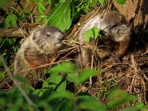 Two Woodchuck Pups in Nature. Two woodchuck or groundhog pups, kits, or cubs in nature royalty free stock photo
