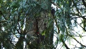 Two Woodpeckers Climbing in Oregon stock video footage