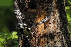 Two Woodpeckers in flight. Woodpeckers in flight at the nest. Illuminated with a beautiful side light . Great Spotted Woodpecker Dandrocopos major Royalty Free Stock Photo