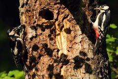 Two Woodpeckers at the nest. Pair of Woodpeckers sitting on a tree near a nest Stock Images