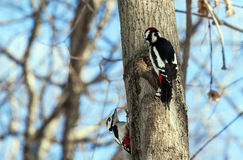 Two woodpeckers on a tree Stock Photo