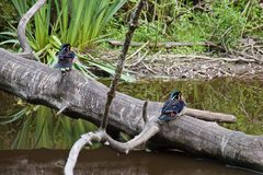 Two woody ducks on a trunk of an aged tree above a pond in a park royalty free stock image
