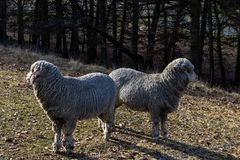 Two sheep looking away stock photos