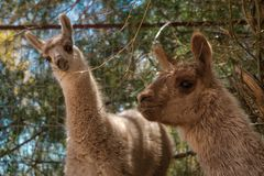 Two woolly llamas in woodland stock photo